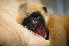 Gibbon baby. Lar Gibbon baby yawning (also White handed Gibbon), Hylobates lar stock photo