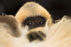 Gibbon baby Royalty Free Stock Photos
