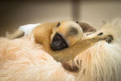 Gibbon baby Royalty Free Stock Photo