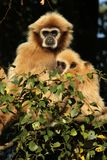 Gibbon with baby sitting in a tree Royalty Free Stock Images