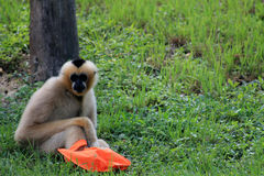 Gibbon with bag Royalty Free Stock Images