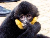 Gibbon beißender Finger Cao-vit mit Haube Lizenzfreies Stockfoto