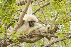 Gibbon bianco Immagine Stock Libera da Diritti