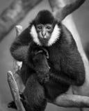 Gibbon bianco--Cheeked Fotografia Stock