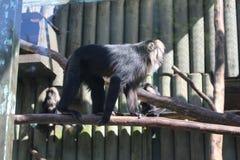 Gibbon bianco--cheeked cinese in ZOO Liberec Immagine Stock