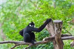 Gibbon bianco di Cheeked o Gibbon del Lar Fotografia Stock