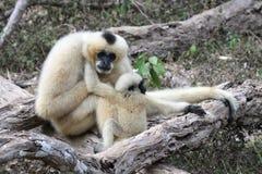 Gibbon bianco di Cheeked o Gibbon del Lar con il bambino Immagini Stock Libere da Diritti