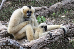 Gibbon bianco di Cheeked o Gibbon del Lar con il bambino Fotografie Stock Libere da Diritti