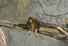 gibbon Bianco-passato (lar del Hylobates) Fotografia Stock Libera da Diritti
