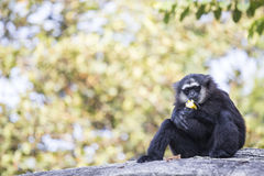 Gibbon Black hand Royalty Free Stock Photo