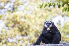 Gibbon Black hand Stock Images