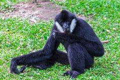 Gibbon Blanc-cheeked Photos stock