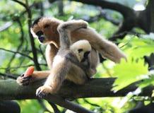 Gibbon blanc-cheeked du nord, leucogenys de Nomascus Images stock