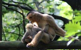 Gibbon blanc-cheeked du nord, leucogenys de Nomascus Image libre de droits
