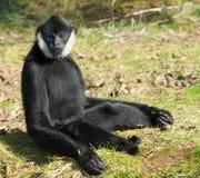 Gibbon Blanc-cheeked mâle image stock