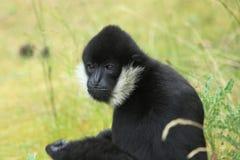 Gibbon blanc-cheeked nordique Photographie stock