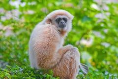 Gibbon blanco Imagenes de archivo