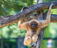 Gibbon blanco Foto de archivo