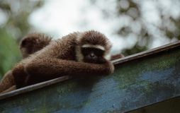 Gibbon in borneo Royalty Free Stock Photography