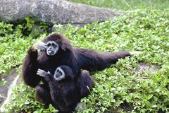 gibbon Branco-entregue uns animais selvagens animais Imagens de Stock