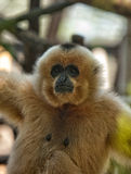 Gibbon Stock Photography
