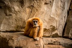 Monkey sitting and looking to camera Royalty Free Stock Photo