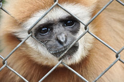 Gibbon in the cage royalty free stock photo