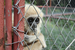 Gibbon in cage Stock Photography