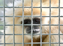 Gibbon in cage Stock Images