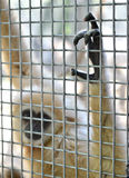 Gibbon in cage Stock Photos