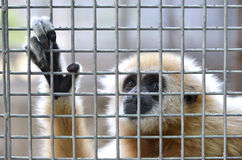 Gibbon in cage Stock Image