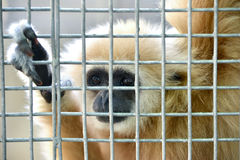 Gibbon in cage Royalty Free Stock Photo