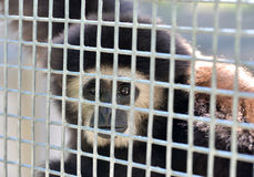Gibbon in cage Royalty Free Stock Photos