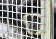 Gibbon in cage Royalty Free Stock Image