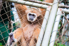 Gibbon catch the net in cage Royalty Free Stock Image