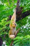 Gibbon cheeked amarillo Fotos de archivo libres de regalías