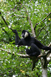 Gibbon cheeked bianco fotografia stock
