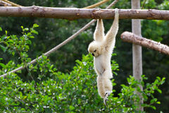 Gibbon cheeked blanc Image stock