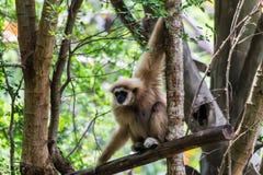 Gibbon in Chiangmai-Dierentuin, Thailand Royalty-vrije Stock Foto's