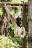 Gibbon in Chiangmai-Dierentuin, Thailand Royalty-vrije Stock Afbeeldingen