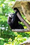 Gibbon in Chiangmai-Dierentuin, Thailand Stock Foto's