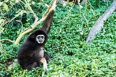 Gibbon in chiangmai Zoo chiangmai Thailand Lizenzfreies Stockfoto