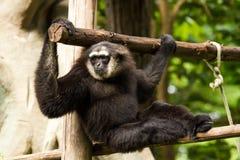 Gibbon in chiangmai Zoo chiangmai Thailand Stockfoto
