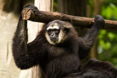 Gibbon in chiangmai Zoo chiangmai Thailand Stockbild
