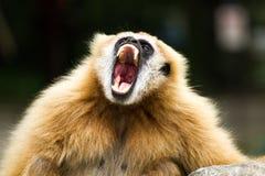 Gibbon in chiangmai Zoo chiangmai Thailand Lizenzfreie Stockfotografie