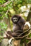 Gibbon in chiangmai Zoo chiangmai Thailand Lizenzfreies Stockbild