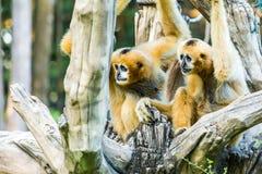 Gibbon in chiangmai Zoo, chiangmai Thailand Lizenzfreie Stockfotos