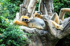 Gibbon in chiangmai Zoo, chiangmai Thailand Stockbild