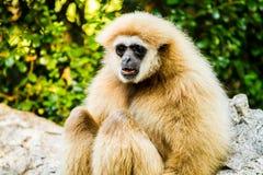 Gibbon in chiangmai Zoo chiangmai Thailand Lizenzfreie Stockfotos
