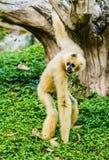 Gibbon in chiangmai Zoo chiangmai Thailand Stockfotografie
